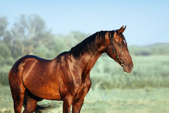 Beautiful portrait of Akhal-Teke stallion royalty free stock photo