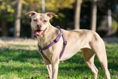 Beautiful  portrait of an American Staffordshire terrier. Royalty Free Stock Photo