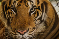 Beautiful Portrait of Amur Tigers Royalty Free Stock Photos