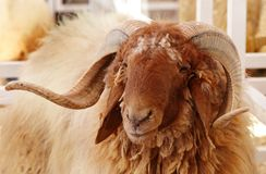 Beautiful portrait of Awassi sheep Royalty Free Stock Images