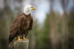 Bald Eagle. A beautiful portrait of a bald eagle royalty free stock images