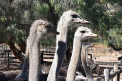 Beautiful portrait of big ostriches on a farm in Oudtshoorn, Little Karoo, in South Africa. Beautiful big ostrich on a farm in Oudtshoorn, Little Karoo, in South Stock Image