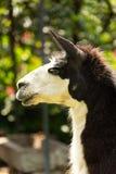 Portrait of black and white llama stock image