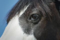Close-up of a black and white paint horse eye stock image