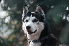 Beautiful Portrait of a black-white siberian husky dog. Portrait of a black-white siberian husky dog on background fir-tree stock photos