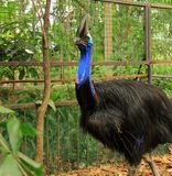 Cassowary bird Casuarius casuarius. A beautiful portrait of cassowary bird Casuarius casuarius in a zoo stock image