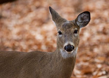 Beautiful portrait of the cute deer in the forest Royalty Free Stock Images