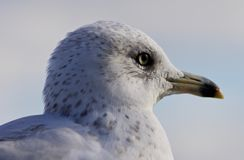 Beautiful portrait of a cute funny gull looking aside Stock Photography
