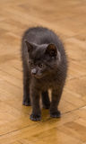 A beautiful portrait of a cute Russian blue kitten. Indoors Stock Images