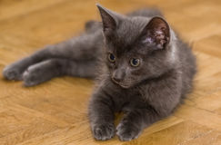 A beautiful portrait of a cute Russian blue kitten. Indoors Stock Image