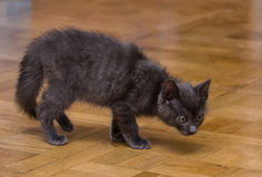 A beautiful portrait of a cute Russian blue kitten. Indoors Stock Photos