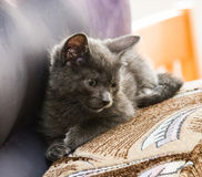 A beautiful portrait of a cute Russian blue kitten. Indoors Stock Photo
