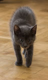 A beautiful portrait of a cute Russian blue kitten. Indoors Royalty Free Stock Image