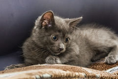 A beautiful portrait of a cute Russian blue kitten. Indoors Royalty Free Stock Photography
