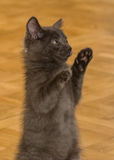 A beautiful portrait of a cute Russian blue kitten. Indoors Stock Photography