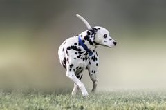 Beautiful portrait of a Dalmatian dog. Stock Photos