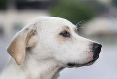 Beautiful portrait of a dog Royalty Free Stock Photography