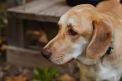 Beautiful portrait of a dog with sad expression in the park Royalty Free Stock Images