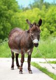 Beautiful portrait of a donkey Stock Images