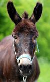 Beautiful portrait of a donkey Royalty Free Stock Photography