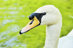 Beautiful  Portrait  of duck on the water. Portrait of a females of duck on the water Royalty Free Stock Photo