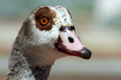 A beautiful portrait of an Egyptian Goose Royalty Free Stock Photography