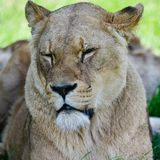 Close up portrait of female African Lion Panthera Leo Leo in Sum Stock Photos