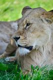 Close up portrait of female African Lion Panthera Leo Leo in Sum Royalty Free Stock Image