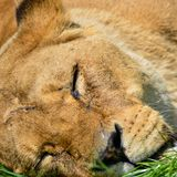 Close up portrait of female African Lion Panthera Leo Leo in Sum Royalty Free Stock Images