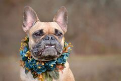 Female brown French Bulldog dog showing smile with overbite wearing a selfmade bue floral collar in front of blurry background royalty free stock photo