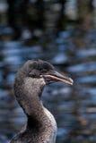 Beautiful portrait of flightless cormorant the Royalty Free Stock Photos