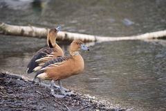 Beautiful portrait of fulvous whistling duck bird in the wild Stock Images