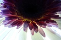 Macro of Gerbera flower stock images