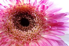 Macro of Gerbera flower stock image