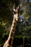 Beautiful portrait of a Giraffe Royalty Free Stock Images