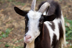 Beautiful portrait goat Royalty Free Stock Images
