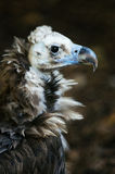 Beautiful portrait of Griffon vulture Stock Photo
