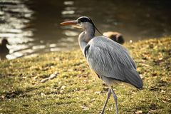 Beautiful portrait of heron isolated. Walking on grass royalty free stock images