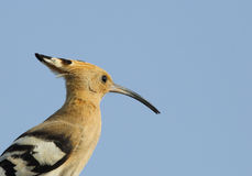 Beautiful portrait of Hoopoe Royalty Free Stock Images