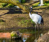 Beautiful portrait of a japanese crane walking in the water, Endangered bird specie from Asia. A beautiful portrait of a japanese crane walking in the water royalty free stock image