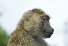 Beautiful portrait of a joyful funny baboon Stock Photo