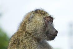 Beautiful portrait of a joyful funny baboon Stock Photo