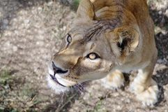 A beautiful portrait of a lioness. Close-up. royalty free stock photography