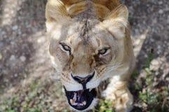 The beautifull lioness licks mustache close-up. A beautiful portrait of a lioness. Close-up. Young lioness focused. Beautifull eyes. the beautifull lioness licks stock photo