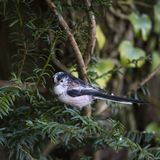 Stunning portrait of Long Tailed Tit Aegithalos Caudatus bird in. Beautiful portrait of Long Tailed Tit Aegithalos Caudatus bird in sunshine in woodland setting Royalty Free Stock Images