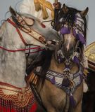 A beautiful portrait of a male ans female horses with a traditional accessories royalty free stock photo