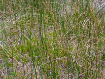 Beautiful portrait of marsh grass Royalty Free Stock Image