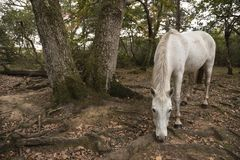 Beautiful portrait of New Forest pony in Autumn woodland landsca stock images