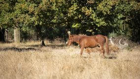 Beautiful portrait of New Forest pony in Autumn woodland landsca royalty free stock photography