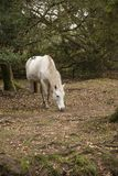 Beautiful portrait of New Forest pony in Autumn woodland landsca stock photo